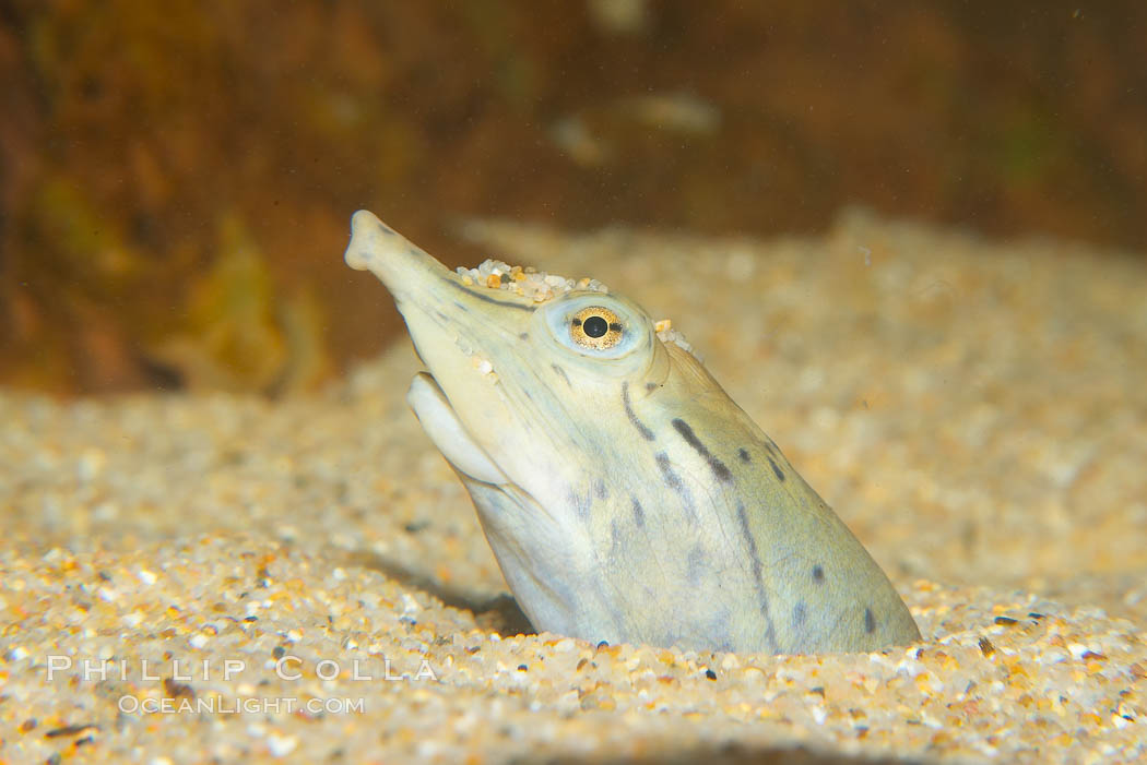 Softshell turtle.  Buried in sand, just the head of this softshell turtle is visible., Apalone spinifera, natural history stock photograph, photo id 13971