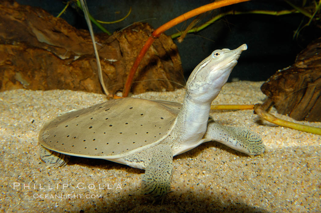Image 09805, Softshell turtle., Apalone spinifera, Phillip Colla, all rights reserved worldwide. Keywords: apalone spinifera, softshell turtle, spiny soft-shelled turtle, underwater.