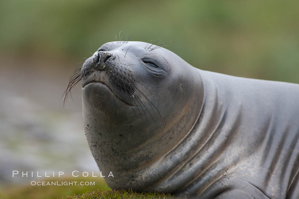Southern elephant seal, juvenile. Fortuna Bay, South Georgia Island, Mirounga leonina, natural history stock photograph, photo id 24666