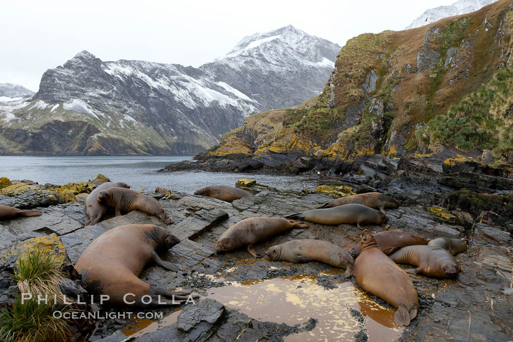 Southern elephant seal, juvenile.  The southern elephant seal is the largest pinniped, and the largest member of order Carnivora, ever to have existed.  It gets its name from the large proboscis (nose) it has when it has grown to adulthood. Hercules Bay, South Georgia Island, Mirounga leonina, natural history stock photograph, photo id 24491