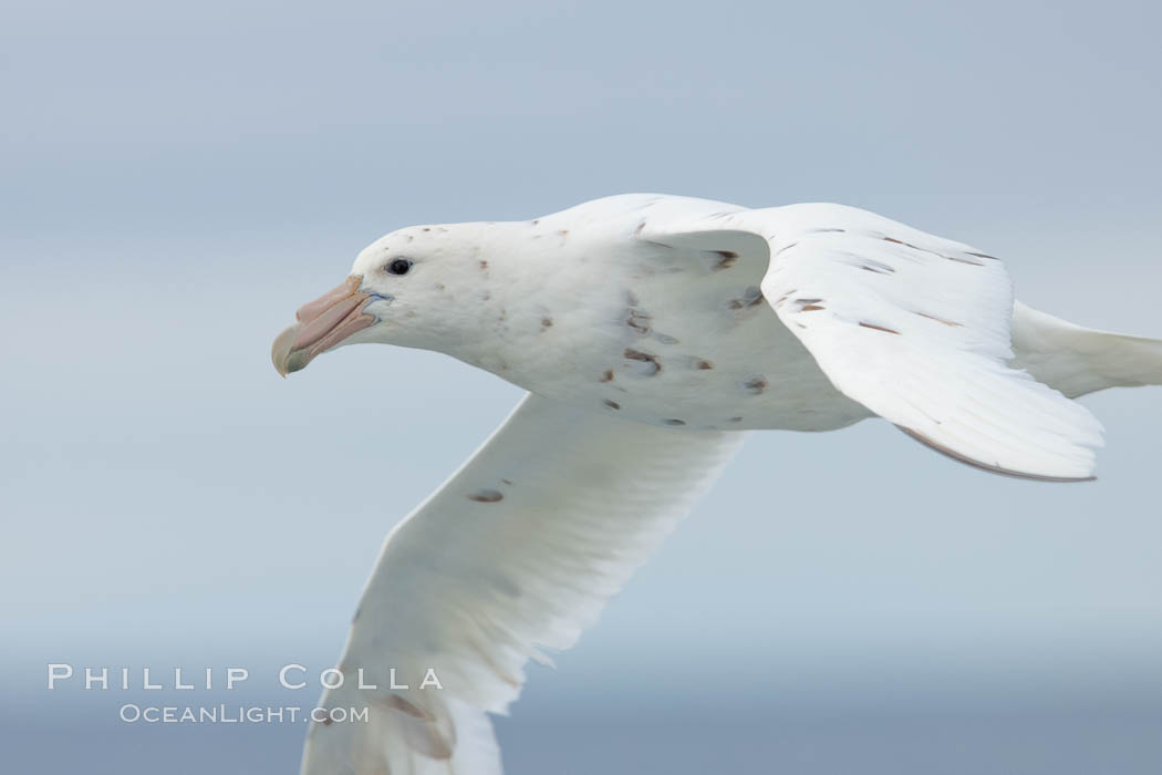 White nellie, the white morph of the southern giant petrel.  Southern giant petrel in flight. Falkland Islands, United Kingdom, Macronectes giganteus, natural history stock photograph, photo id 23678