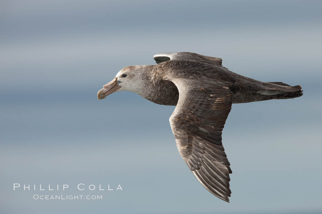 Southern giant petrel in flight.  The distinctive tube nose (naricorn), characteristic of species in the Procellariidae family (tube-snouts), is easily seen. Falkland Islands, United Kingdom, Macronectes giganteus, natural history stock photograph, photo id 23682