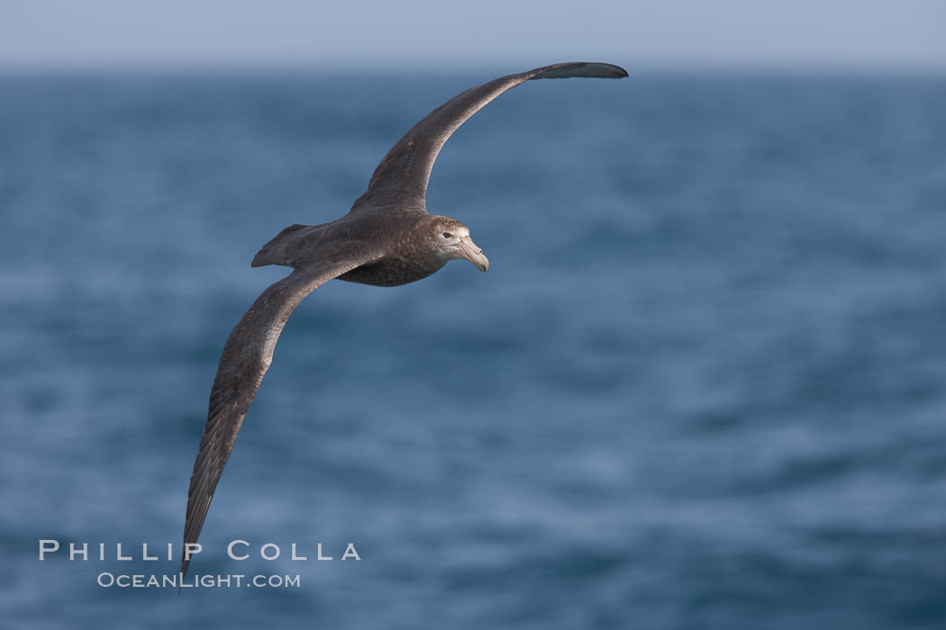 "Southern giant petrel in flight, soaring over the open ocean.  This large seabird has a wingspan up to 80"" from wing-tip to wing-tip. Falkland Islands, United Kingdom, Macronectes giganteus, natural history stock photograph, photo id 23694"