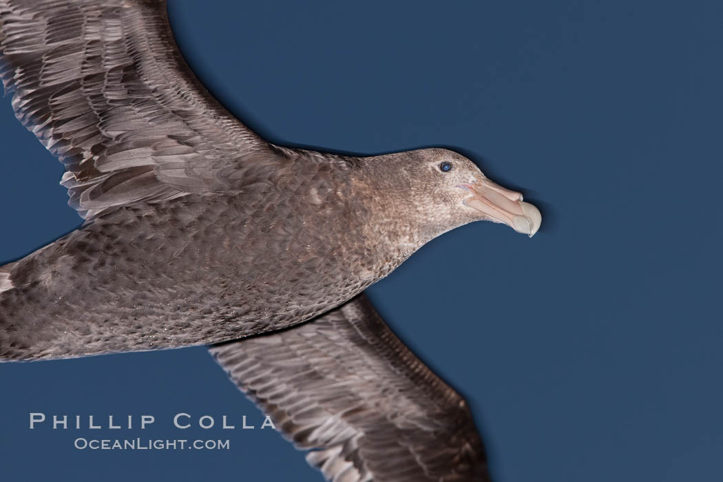 Southern giant petrel in flight at dusk, after sunset, as it soars over the open ocean in search of food. Falkland Islands, United Kingdom, Macronectes giganteus, natural history stock photograph, photo id 23702