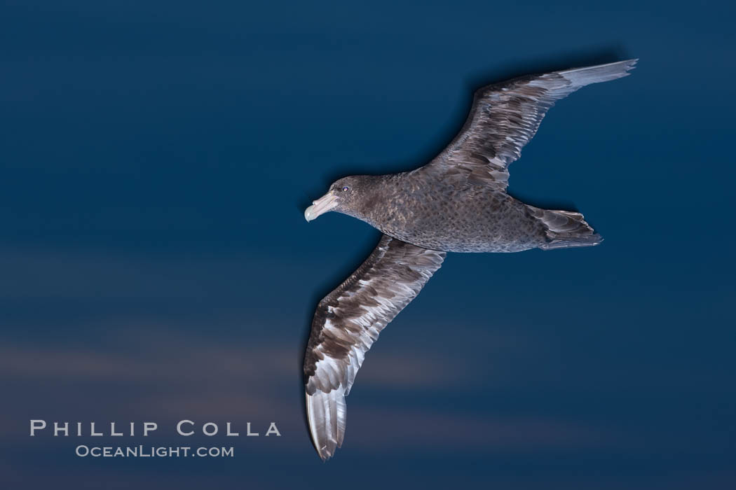 Southern giant petrel in flight at dusk, after sunset, as it soars over the open ocean in search of food. Falkland Islands, United Kingdom, Macronectes giganteus, natural history stock photograph, photo id 23700