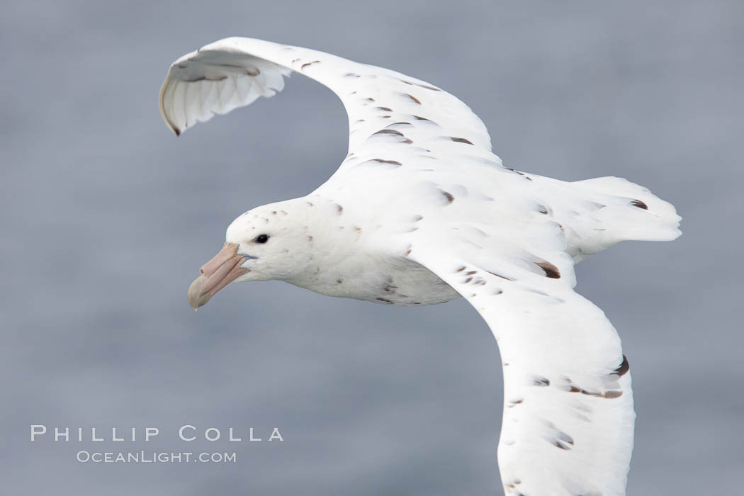 White nellie, the white morph of the southern giant petrel.  Southern giant petrel in flight. Falkland Islands, United Kingdom, Macronectes giganteus, natural history stock photograph, photo id 23707