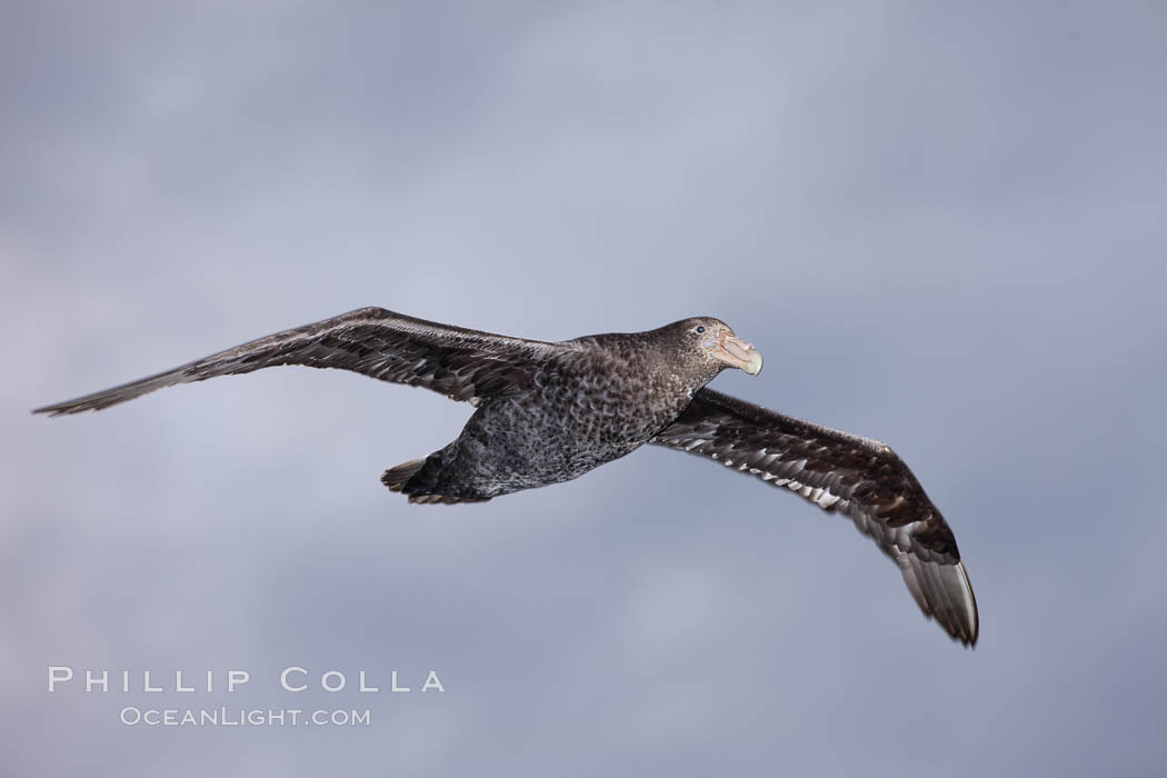 Southern giant petrel in flight.  The distinctive tube nose (naricorn), characteristic of species in the Procellariidae family (tube-snouts), is easily seen. Falkland Islands, United Kingdom, Macronectes giganteus, natural history stock photograph, photo id 23701