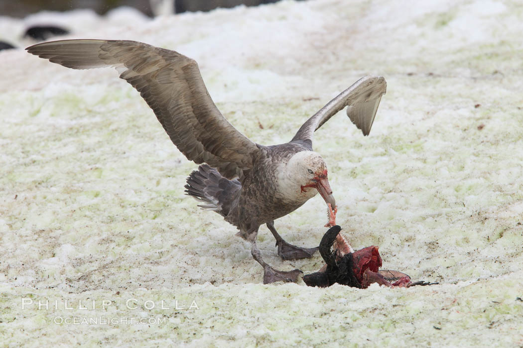 Southern giant petrel kills and eats an Adelie penguin chick, Shingle Cove. Coronation Island, South Orkney Islands, Southern Ocean, Macronectes giganteus, natural history stock photograph, photo id 25180