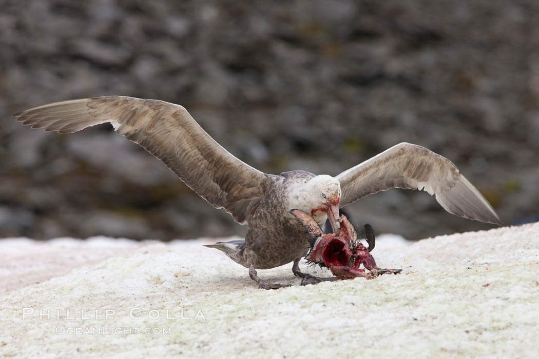 Image 25027, Southern giant petrel kills and eats an Adelie penguin chick, Shingle Cove. Shingle Cove, Coronation Island, South Orkney Islands, Southern Ocean, Macronectes giganteus, Phillip Colla, all rights reserved worldwide. Keywords: animalia, aves, bird, british antarctic territory, chordata, coronation island, giganteus, macronectes, macronectes giganteus, oceans, procellariidae, procellariiformes, shingle cove, south orkney islands, southern giant petrel, southern ocean, united kingdom, vertebrata, vertebrate.