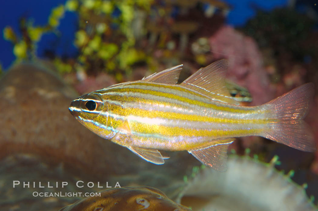 Image 08684, Southern orange-lined cardinalfish., Apogon properupta, Phillip Colla, all rights reserved worldwide. Keywords: animal, apogon properupta, cardinalfish, color and pattern, fish, fish anatomy, indo-pacific, marine fish, southern orange-lined cardinalfish, stripe, underwater.