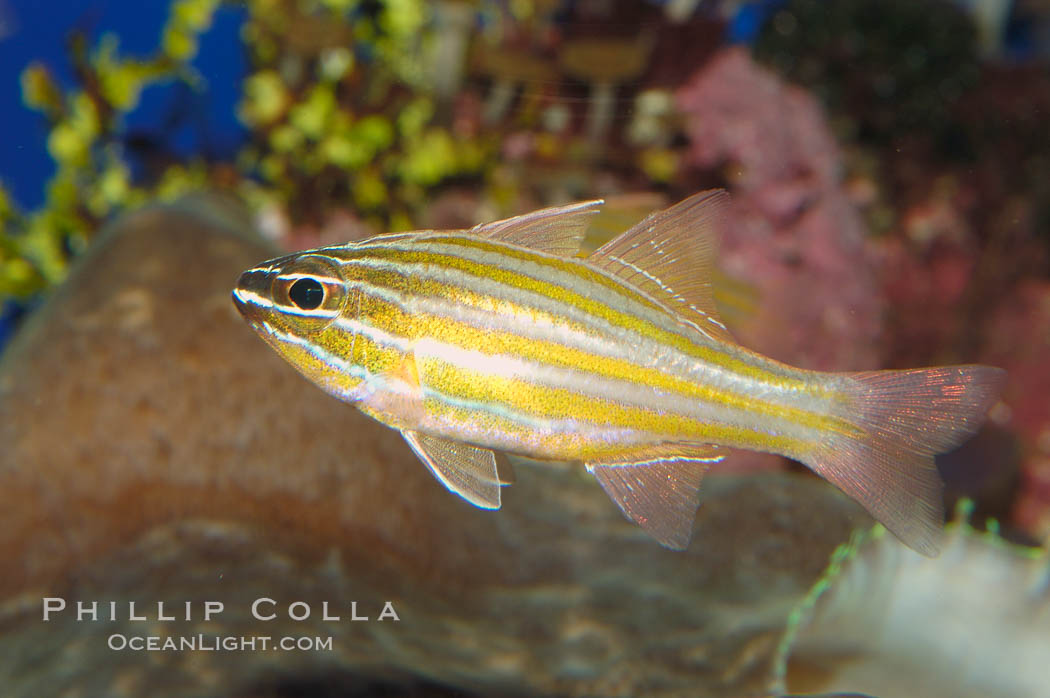 Southern orange-lined cardinalfish., Apogon properupta, natural history stock photograph, photo id 08685