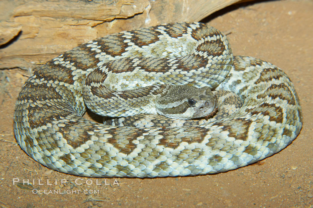 Southern Pacific rattlesnake.  The southern Pacific rattlesnake is common in southern California from the coast through the desert foothills to elevations of 10,000 feet.  It reaches 4-5 feet (1.5m) in length., Crotalus viridis helleri, natural history stock photograph, photo id 12591