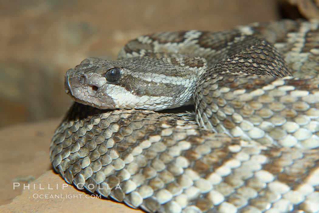 Southern Pacific rattlesnake.  The southern Pacific rattlesnake is common in southern California from the coast through the desert foothills to elevations of 10,000 feet.  It reaches 4-5 feet (1.5m) in length., Crotalus viridis helleri, natural history stock photograph, photo id 14695