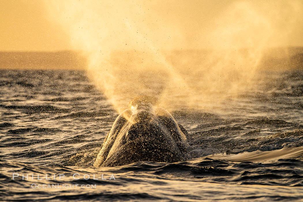 Southern right whale spouting at sunset, blowing, exhaling, Eubalaena australis, Patagonia, Argentina, Eubalaena australis, Puerto Piramides, Chubut