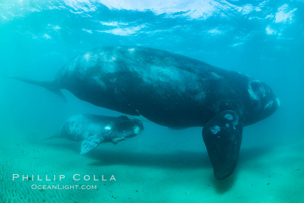 Southern right whale mother and calf, Eubalaena australis, Argentina. Puerto Piramides, Chubut, Eubalaena australis, natural history stock photograph, photo id 35918