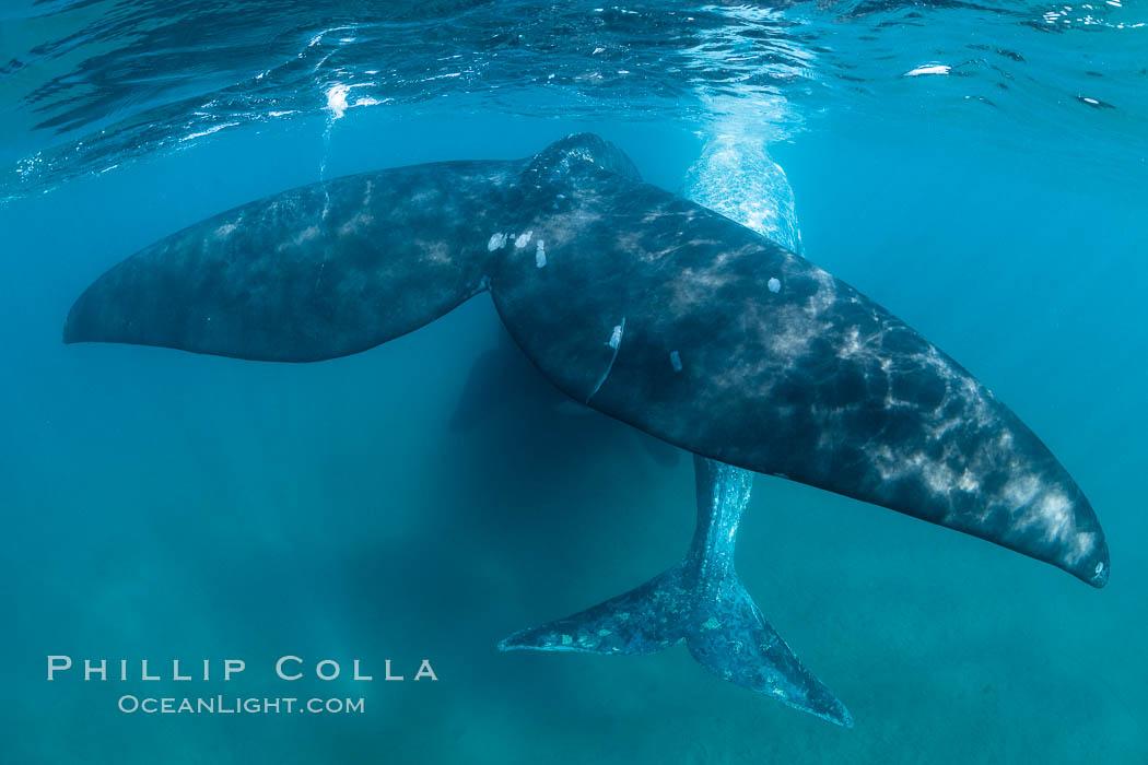 Southern right whale mother and calf, flukes, Eubalaena australis, Argentina, Eubalaena australis, Puerto Piramides, Chubut