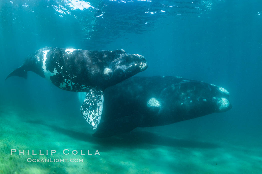 Southern right whale mother and calf underwater, Eubalaena australis, Argentina. Puerto Piramides, Chubut, Eubalaena australis, natural history stock photograph, photo id 35966
