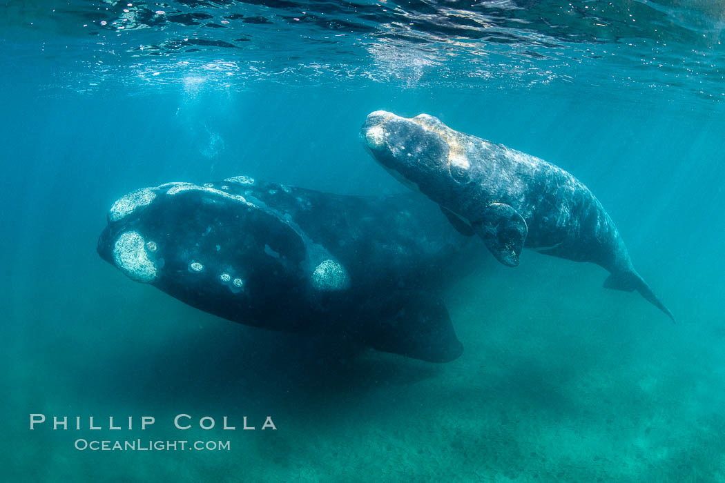 Southern right whale mother and calf underwater, Eubalaena australis, Argentina. Puerto Piramides, Chubut, Eubalaena australis, natural history stock photograph, photo id 35953