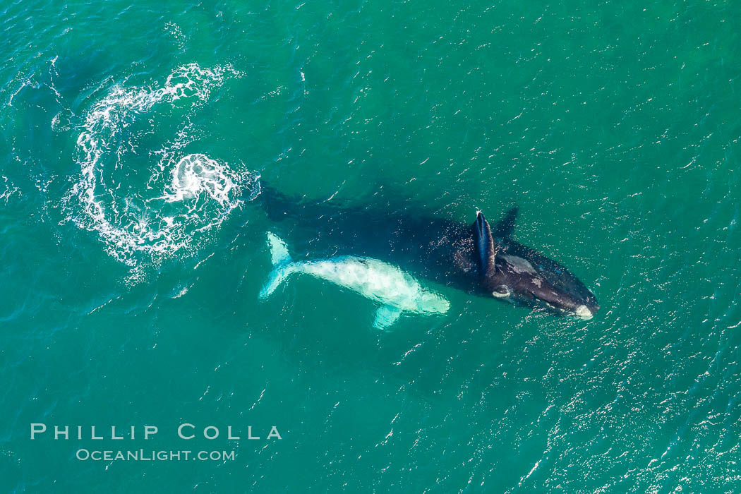 Southern right whale mother and calf in shallow water, aerial photo, Patagonia, Argentina. Puerto Piramides, Chubut, Eubalaena australis, natural history stock photograph, photo id 35958