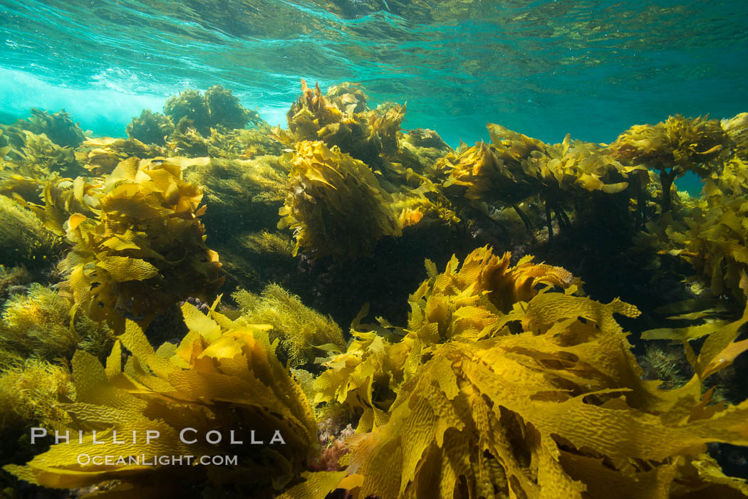 Southern sea palm, palm kelp, underwater, San Clemente Island. California, USA, Eisenia arborea, natural history stock photograph, photo id 30918