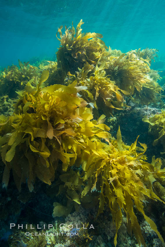 Southern sea palm, palm kelp, underwater, San Clemente Island. California, USA, Eisenia arborea, natural history stock photograph, photo id 30920