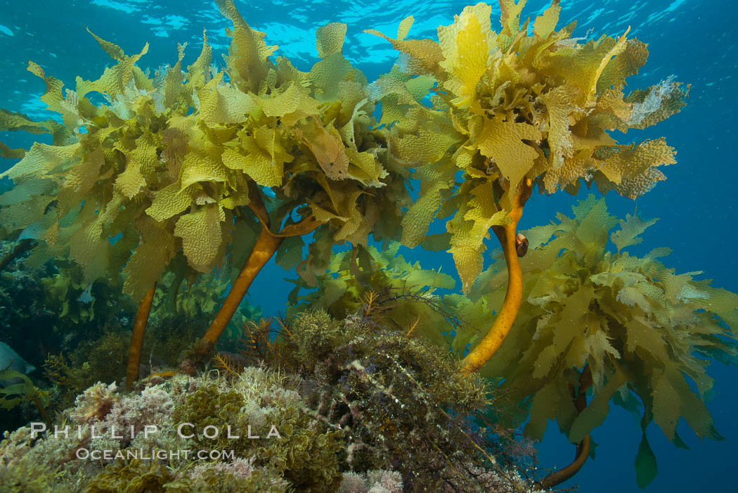 Southern sea palm, palm kelp, underwater, San Clemente Island. California, USA, Eisenia arborea, natural history stock photograph, photo id 30917