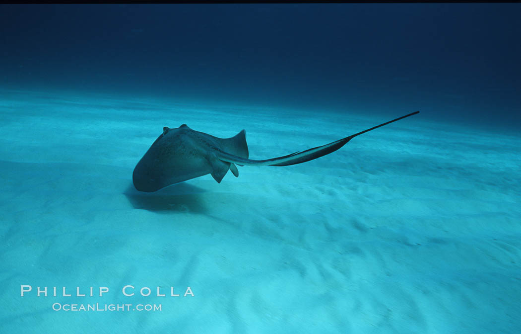 Southern stingray. Bahamas, Dasyatis americana, natural history stock photograph, photo id 06114