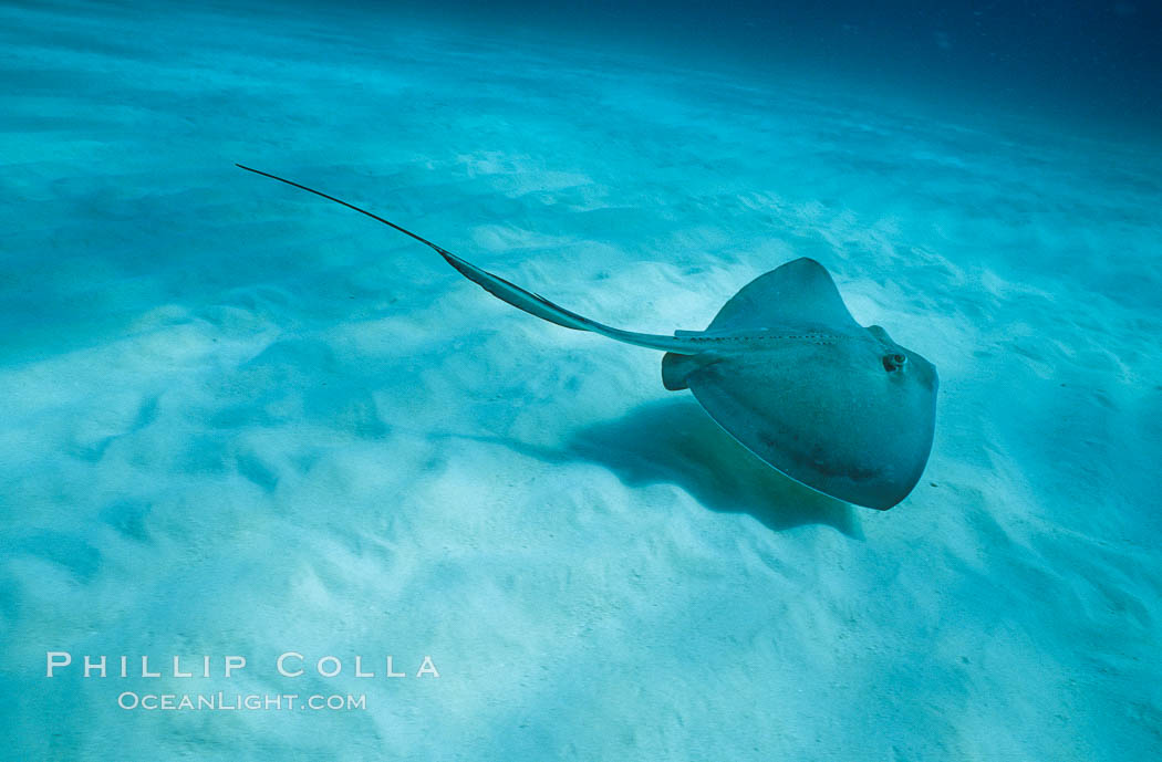 Southern stingray. Bahamas, Dasyatis americana, natural history stock photograph, photo id 00311