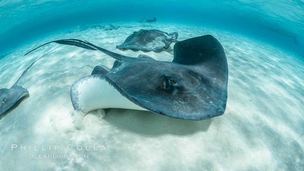 Southern Stingray, Stingray City, Grand Cayman Island. Cayman Islands, Dasyatis americana, natural history stock photograph, photo id 32066