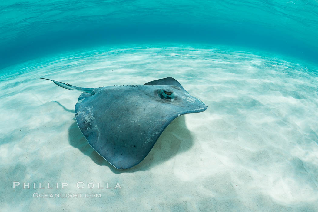 Southern Stingray, Stingray City, Grand Cayman Island. Cayman Islands, Dasyatis americana, natural history stock photograph, photo id 32078