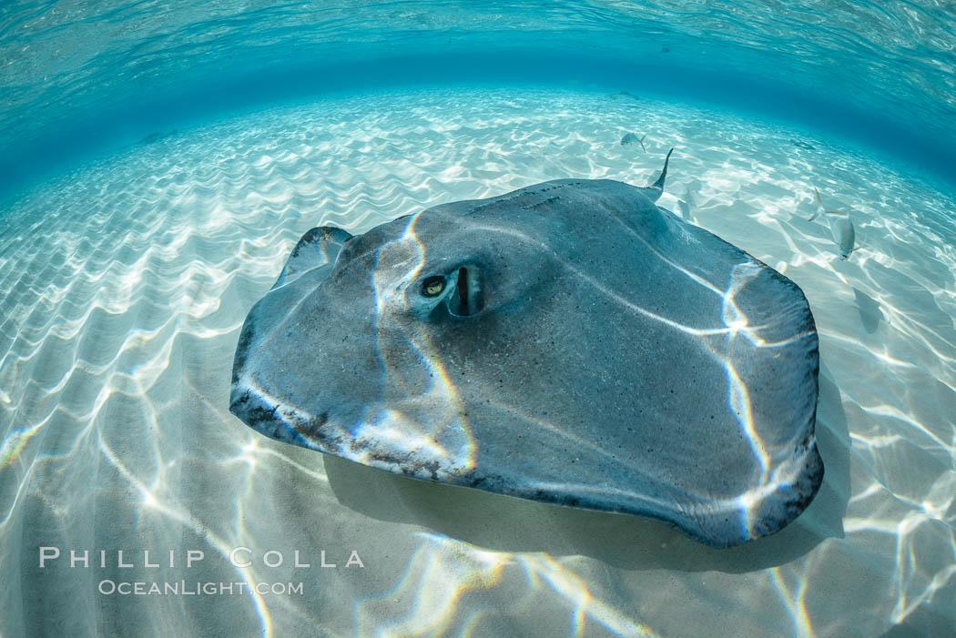 Image 32090, Southern Stingray, Stingray City, Grand Cayman Island. Stingray City, Grand Cayman, Cayman Islands, Dasyatis americana