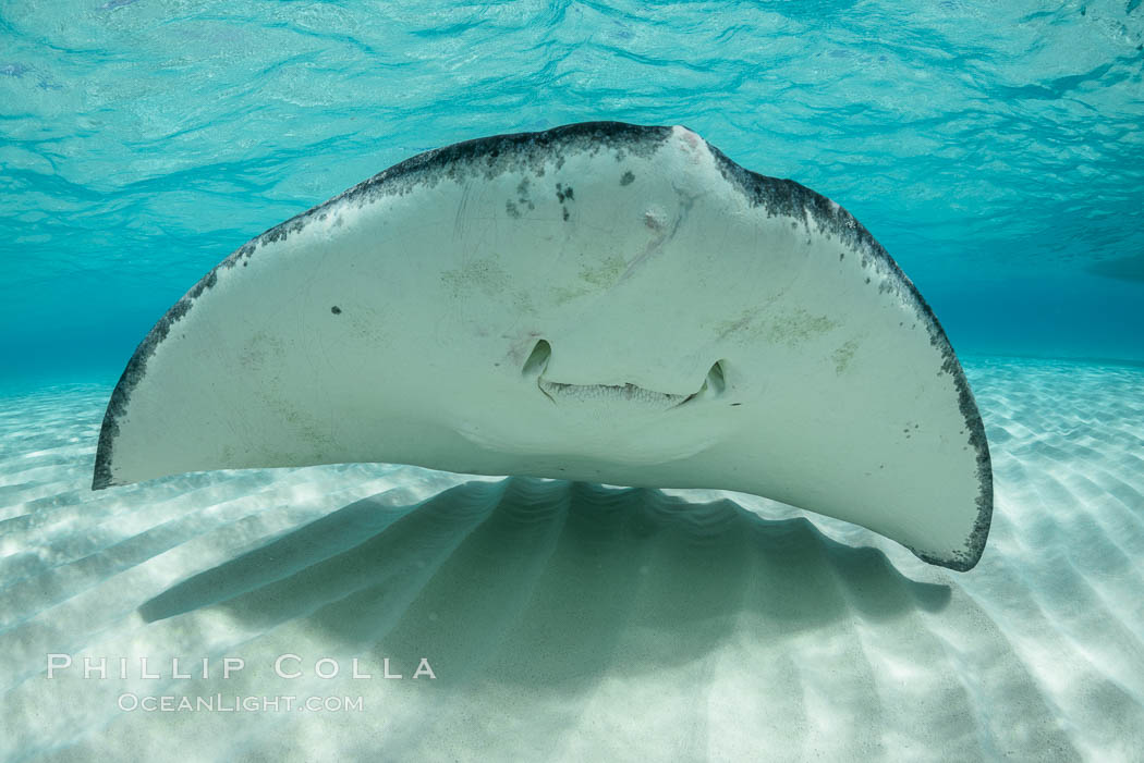 Southern Stingray, Stingray City, Grand Cayman Island. Cayman Islands, Dasyatis americana, natural history stock photograph, photo id 32068