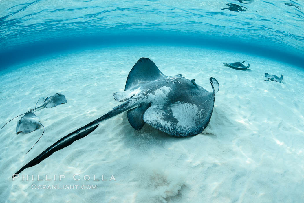 Southern Stingray, Stingray City, Grand Cayman Island. Stingray City, Grand Cayman, Cayman Islands, Dasyatis americana, natural history stock photograph, photo id 32087