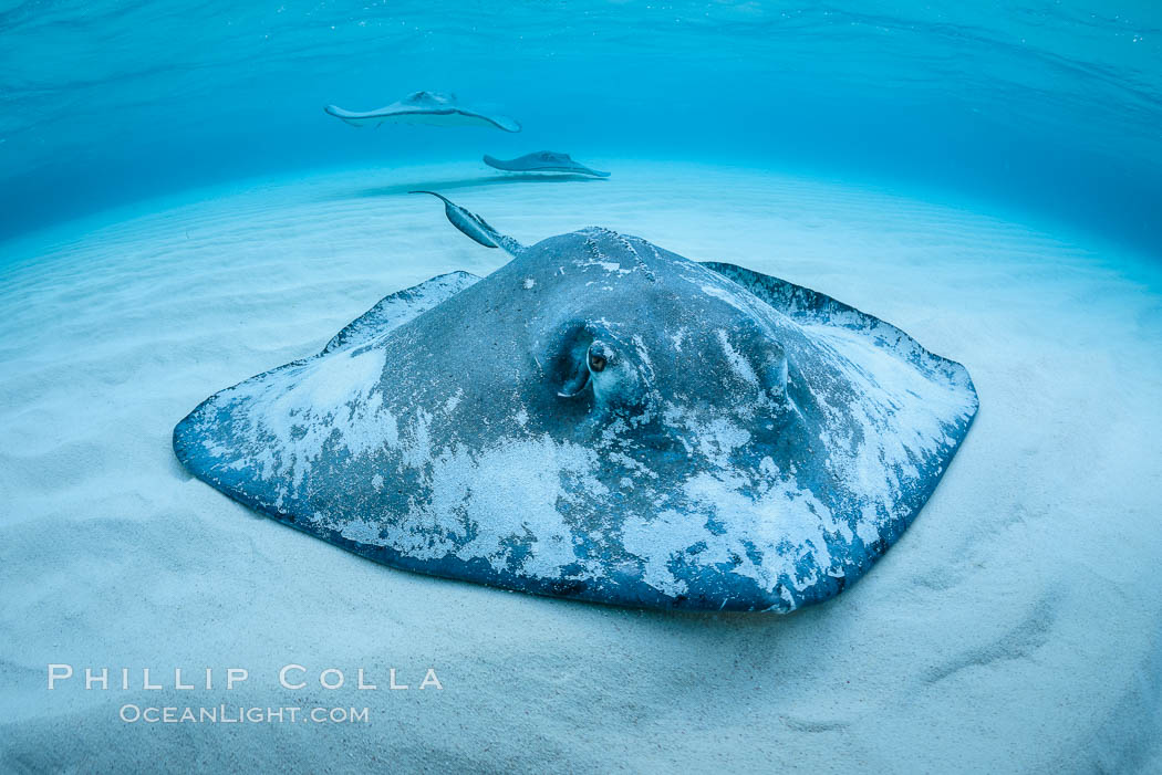 Southern Stingray, Stingray City, Grand Cayman Island. Cayman Islands, Dasyatis americana, natural history stock photograph, photo id 32151