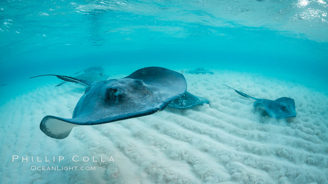 Southern Stingray, Stingray City, Grand Cayman Island. Cayman Islands, Dasyatis americana, natural history stock photograph, photo id 32155
