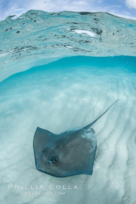 Southern Stingray, Stingray City, Grand Cayman Island. Stingray City, Grand Cayman, Cayman Islands, Dasyatis americana, natural history stock photograph, photo id 32163