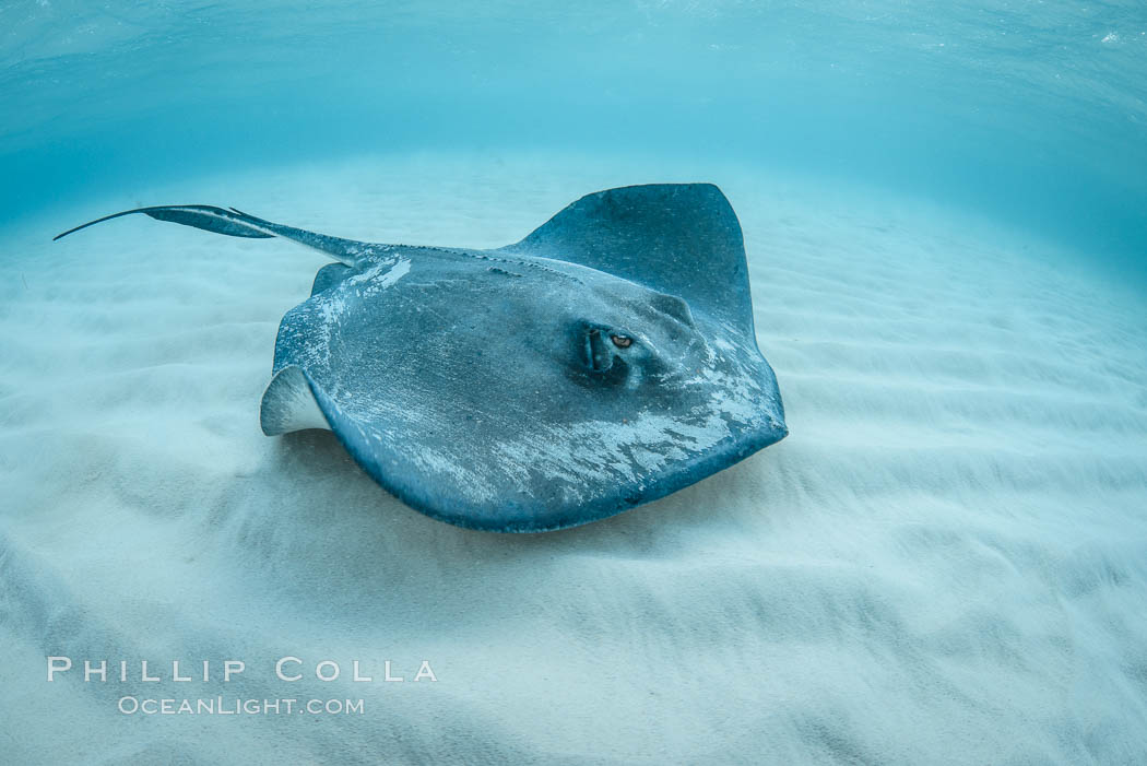 Southern Stingray, Stingray City, Grand Cayman Island. Cayman Islands, Dasyatis americana, natural history stock photograph, photo id 32157