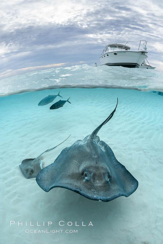 Southern Stingray, Stingray City, Grand Cayman Island. Stingray City, Grand Cayman, Cayman Islands, Dasyatis americana, natural history stock photograph, photo id 32229