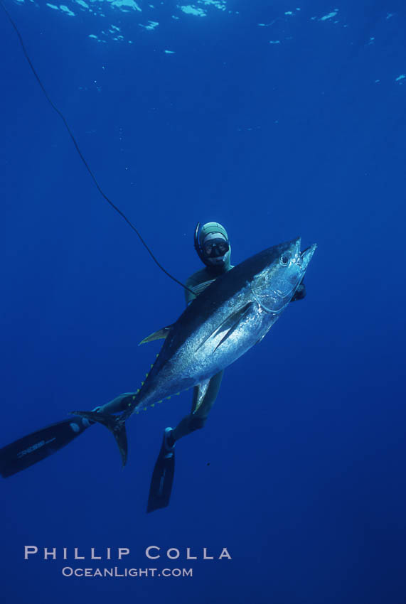 Chris Thompson and yellowfin tuna speared at Guadalupe Island. Guadalupe Island (Isla Guadalupe), Baja California, Mexico, natural history stock photograph, photo id 03731