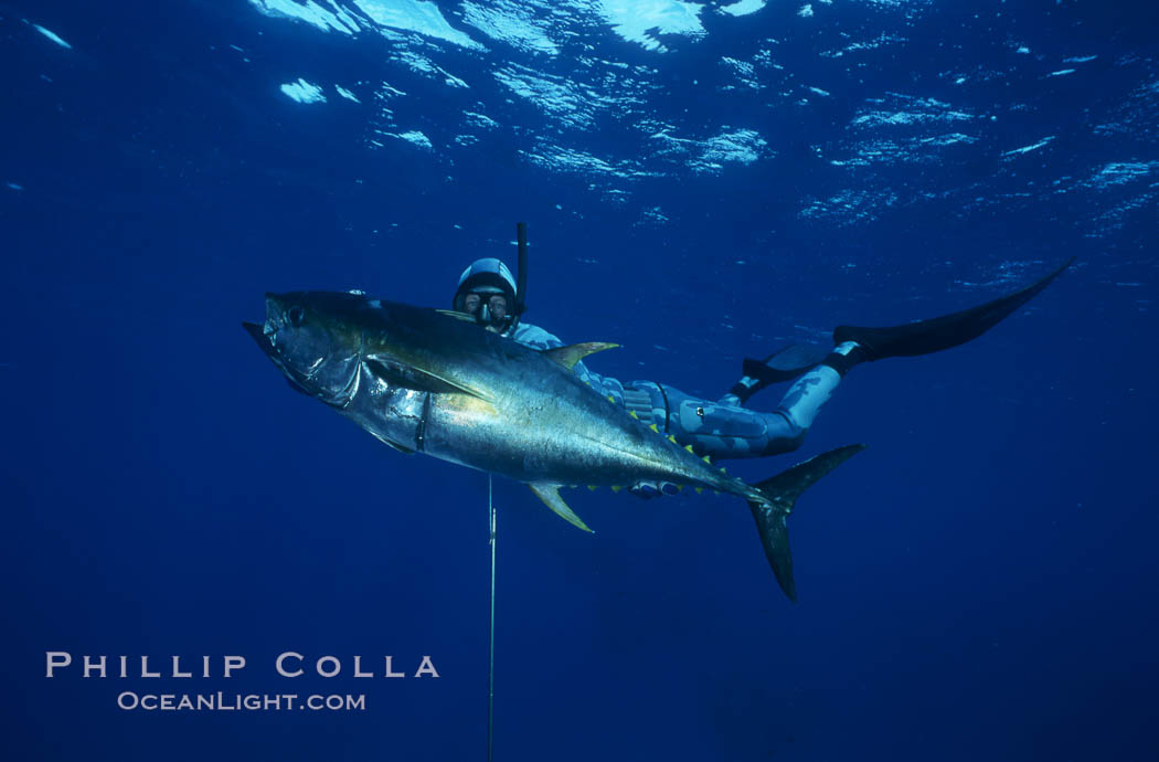 Spearfisherman holding yellowfin tuna. Guadalupe Island (Isla Guadalupe), Baja California, Mexico, natural history stock photograph, photo id 03561