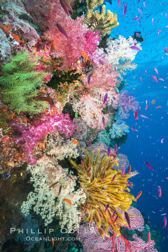 Spectacular pristine tropical reef with vibrant colorful soft corals. Dendronephthya soft corals, crinoids, sea fan gorgonians and schooling Anthias fishes, pulsing with life in a strong current over a pristine coral reef. Fiji is known as the soft coral capitlal of the world. Namena Marine Reserve, Namena Island, Fiji, Dendronephthya, Pseudanthias, Crinoidea, Gorgonacea, natural history stock photograph, photo id 31582