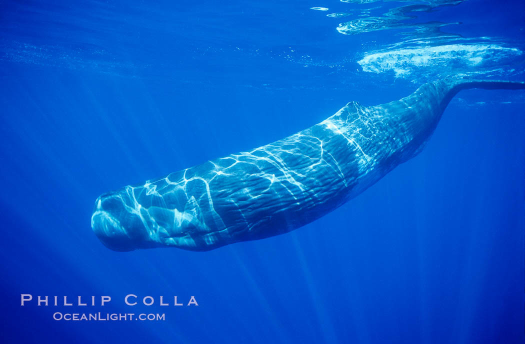 Sperm whale. Sao Miguel Island, Azores, Portugal, Physeter macrocephalus, natural history stock photograph, photo id 02078