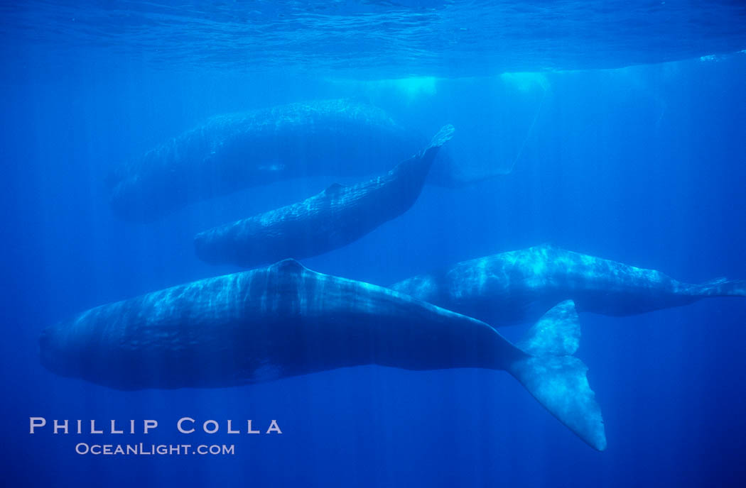Sperm whales. Sao Miguel Island, Azores, Portugal, Physeter macrocephalus, natural history stock photograph, photo id 02075