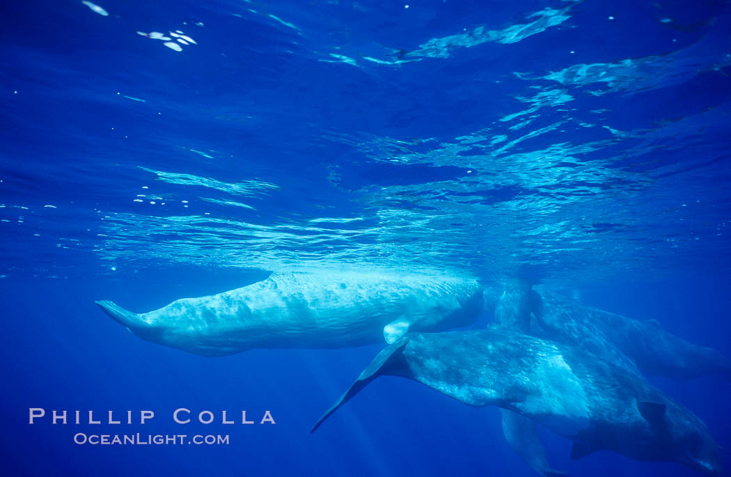 WHITE juvenile sperm whale in social group. Sao Miguel Island, Azores, Portugal, Physeter macrocephalus, natural history stock photograph, photo id 02099