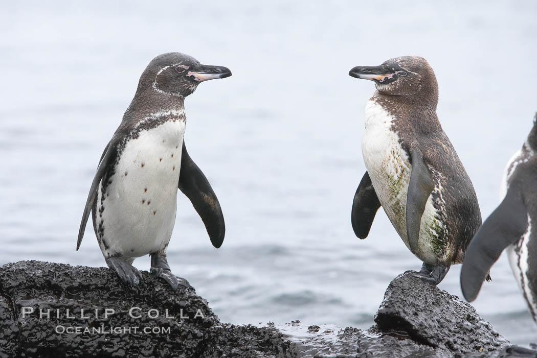 Galapagos penguins. Bartolome Island, Galapagos Islands, Ecuador, Spheniscus mendiculus, natural history stock photograph, photo id 16526