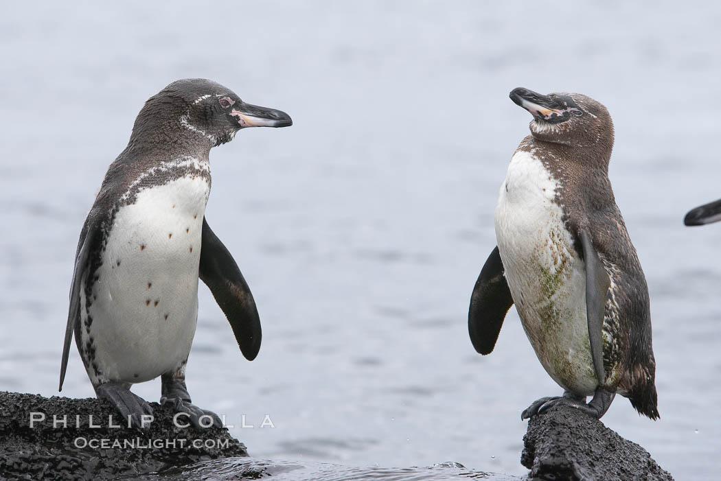 Galapagos penguins. Bartolome Island, Galapagos Islands, Ecuador, Spheniscus mendiculus, natural history stock photograph, photo id 16520