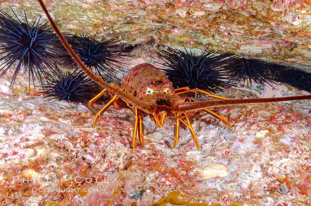 Spiny lobster in rocky crevice. Guadalupe Island (Isla Guadalupe), Baja California, Mexico, Panulirus interruptus, natural history stock photograph, photo id 09563