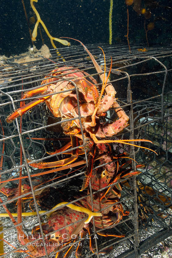 California spiny lobsters are caught in a fishermans wire trap cage on the oceans bottom.  Santa Barbara Islands. Santa Barbara Island, California, USA, Panulirus interruptus, natural history stock photograph, photo id 10140