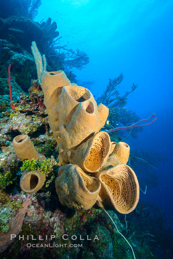 Sponges on Caribbean coral reef, Grand Cayman Island. Cayman Islands, natural history stock photograph, photo id 32107