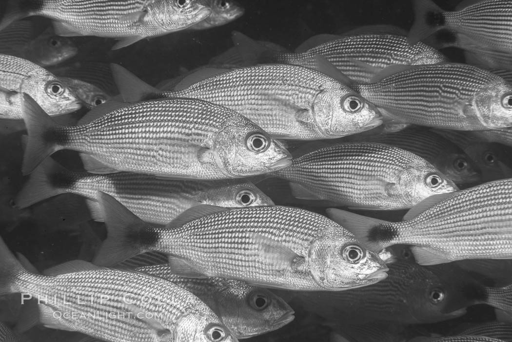 Spottail grunt fish schooling, Isla San Francisquito, Sea of Cortez. Isla San Francisquito, Baja California, Mexico, natural history stock photograph, photo id 33650
